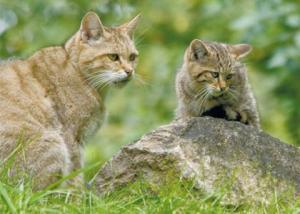 Minipuzzle Wildkatzen